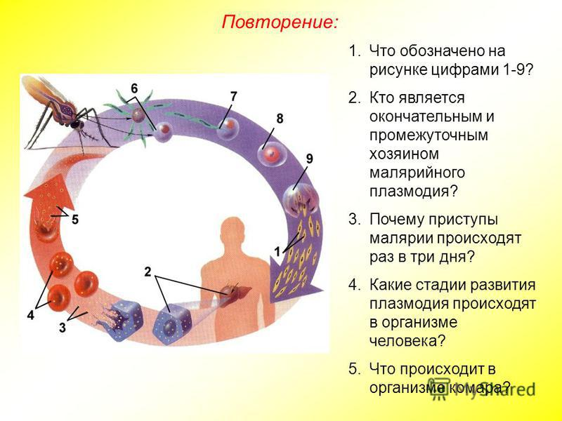 1. Что обозначено на рисунке цифрами 1-9? 2. Кто является окончательным и промежуточным хозяином малярийного плазмодия? 3. Почему приступы малярии происходят раз в три дня? 4. Какие стадии развития плазмодия происходят в организме человека? 5. Что пр