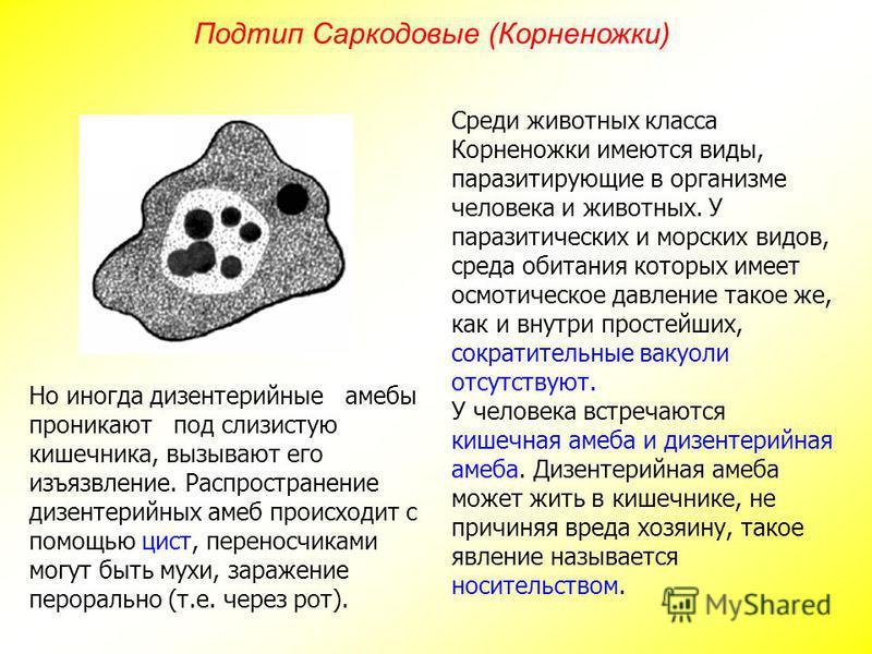 Среди животных класса Корненожки имеются виды, паразитирующие в организме человека и животных. У паразитических и морских видов, среда обитания которых имеет осмотическое давление такое же, как и внутри простейших, сократительные вакуоли отсутствуют.