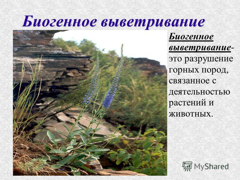 Биогенное выветривание Биогенное выветривание- это разрушение горных пород, связанное с деятельностью растений и животных.