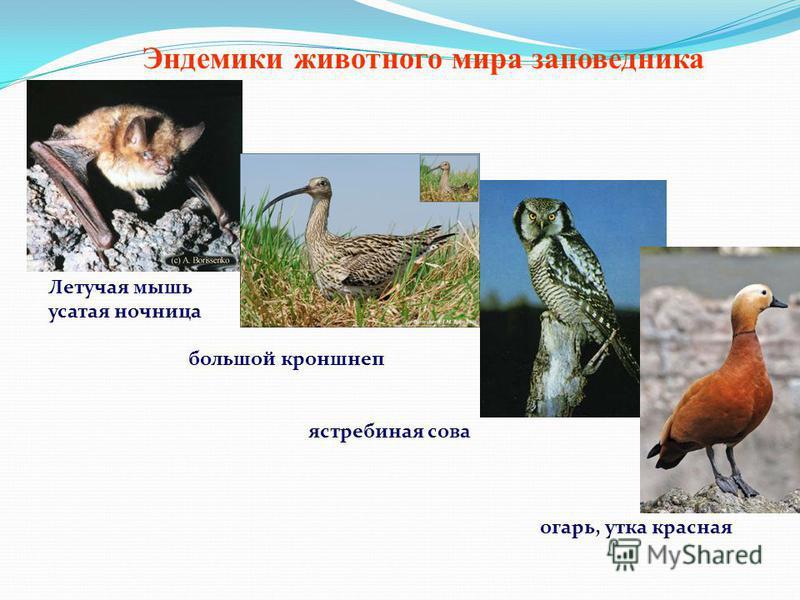 Летучая мышь усатая ночница большой кроншнеп ястребиная сова огарь, утка красная Эндемики животного мира заповедника