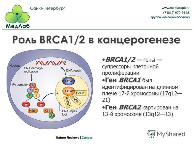 Роль BRCA1/2 в канцерогенезе BRCA1/2 гены супрессоры клеточной пролиферацииBRCA1/2 гены супрессоры клеточной пролиферации Ген BRCA1 был идентифицирован на длинном плече 17-й хромосомы (17q12 21)Ген BRCA1 был идентифицирован на длинном плече 17-й хром
