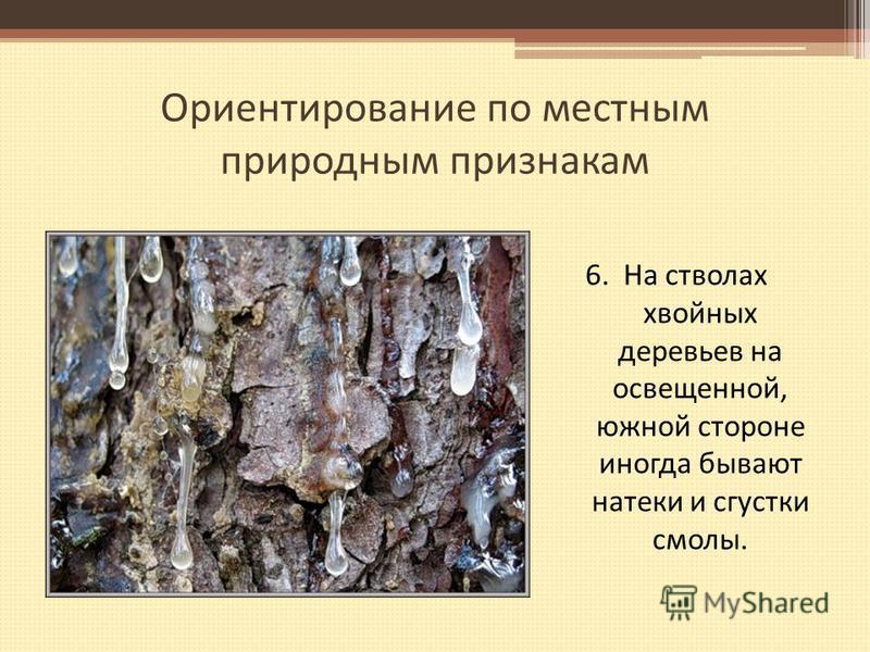 Ориентирование по местным природным признакам 6. На стволах хвойных деревьев на освещенной, южной стороне иногда бывают натеки и сгустки смолы.