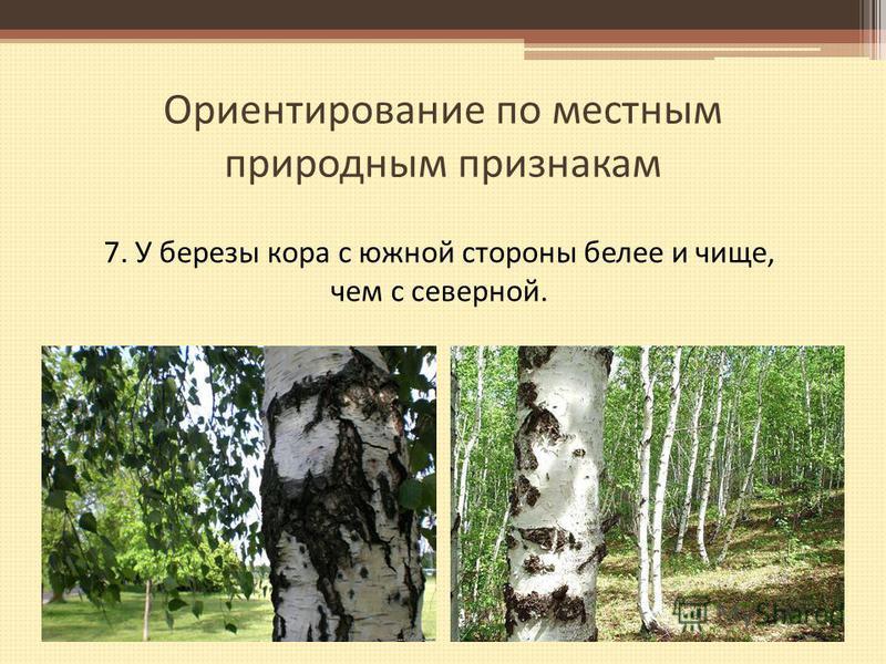 Ориентирование по местным природным признакам 7. У березы кора с южной стороны белее и чище, чем с северной.
