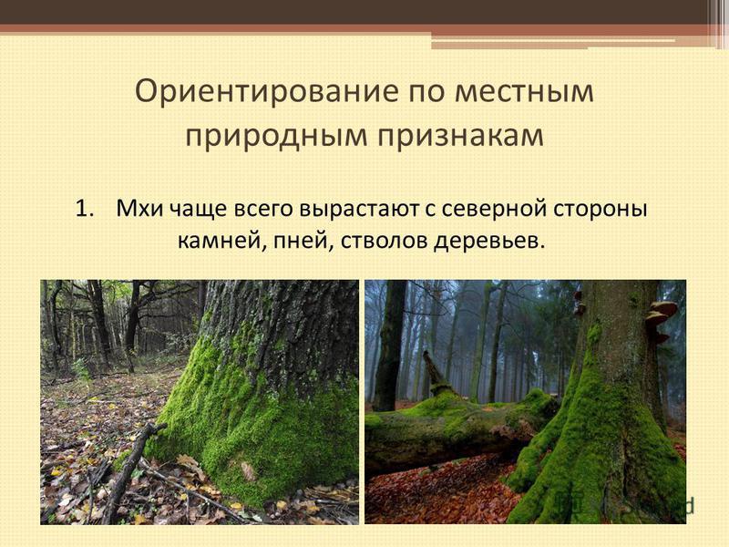 Ориентирование по местным природным признакам 1. Мхи чаще всего вырастают с северной стороны камней, пней, стволов деревьев.