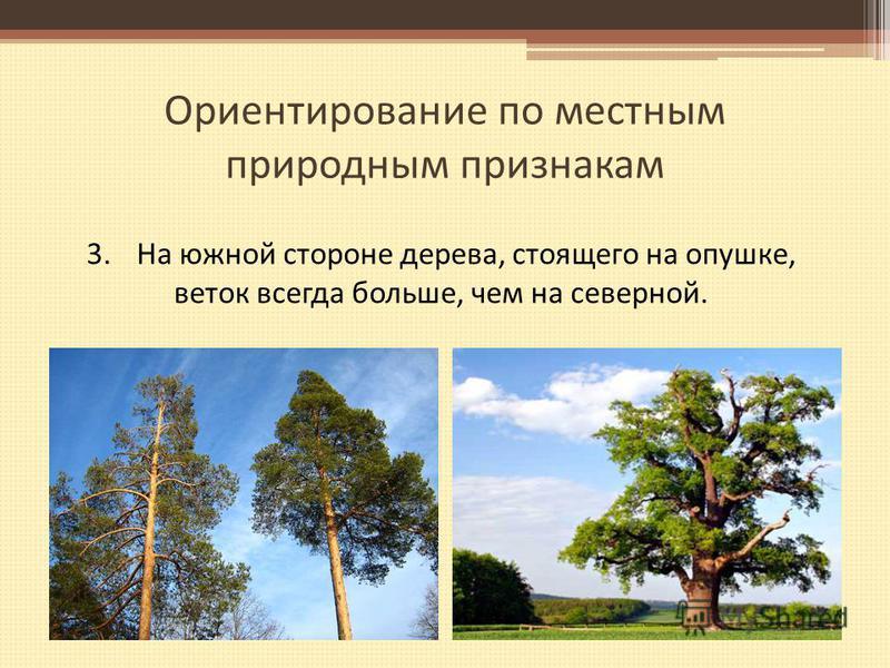 Ориентирование по местным природным признакам 3. На южной стороне дерева, стоящего на опушке, веток всегда больше, чем на северной.