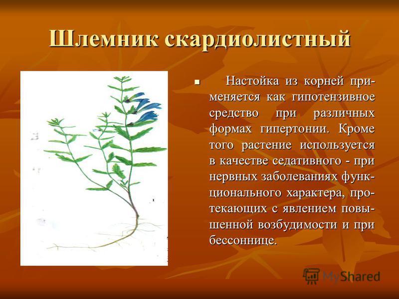 Шлемник скардиолистный Настойка из корней при- меняется как гипотензивное средство при различных формах гипертонии. Кроме того растение используется в качестве седативного - при нервных заболеваниях функционального характера, протекающих с явлением п