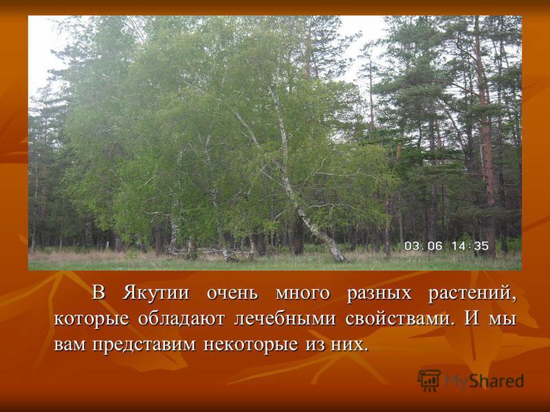 В Якутии очень много разных растений, которые обладают лечебными свойствами. И мы вам представим некоторые из них. В Якутии очень много разных растений, которые обладают лечебными свойствами. И мы вам представим некоторые из них.