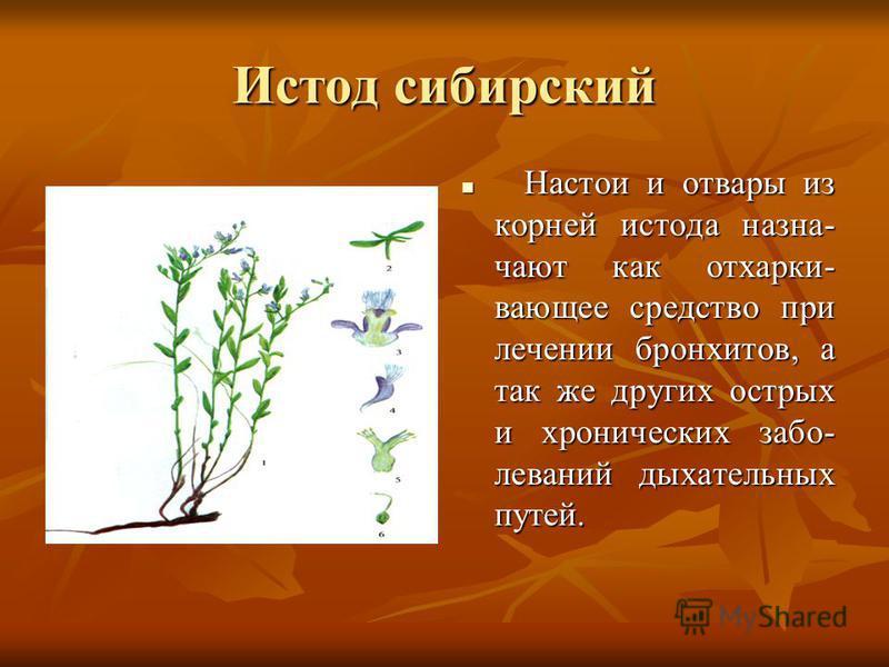 Истод сибирский Настои и отвары из корней истода назначают как отхаркивающее средство при лечении бронхитов, а так же других острых и хронических заболеваний дыхательных путей. Настои и отвары из корней истода назначают как отхаркивающее средство при