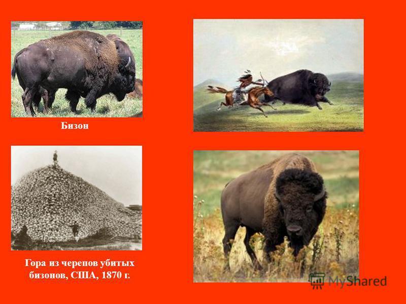 Бизон Гора из черепов убитых бизонов, США, 1870 г.