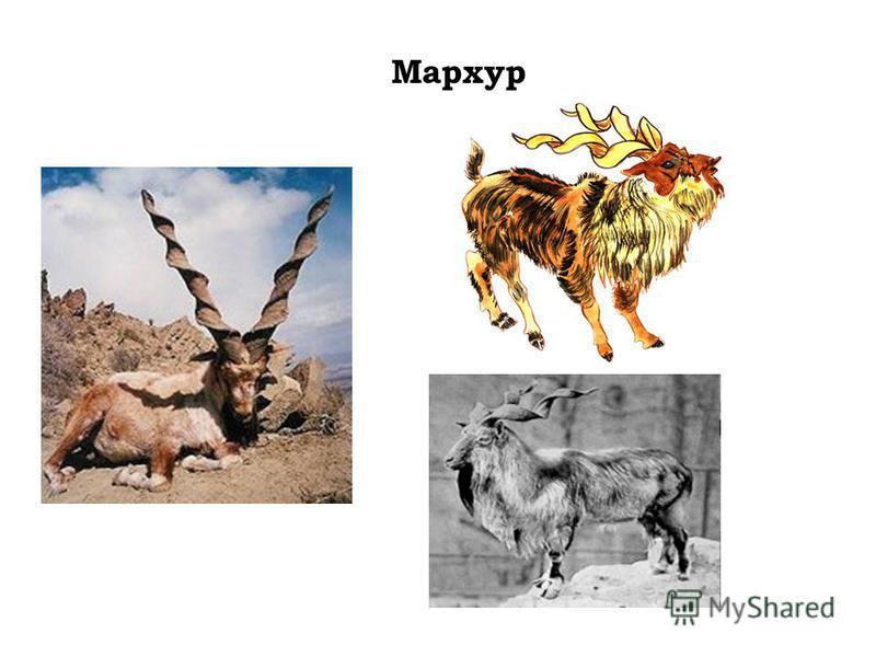 Мархур