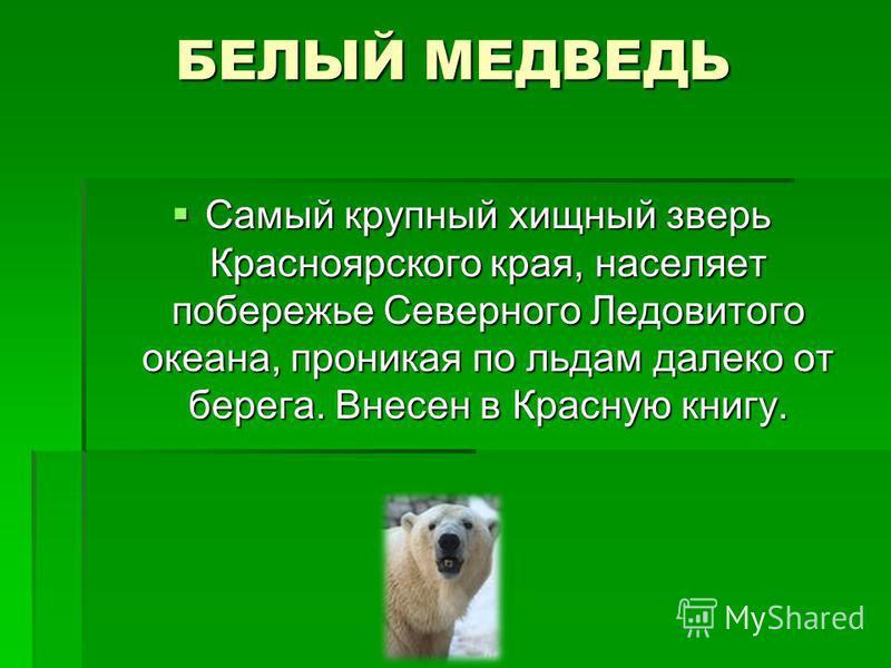 БЕЛЫЙ МЕДВЕДЬ Самый крупный хищный зверь Красноярского края, населяет побережье Северного Ледовитого океана, проникая по льдам далеко от берега. Внесен в Красную книгу. Самый крупный хищный зверь Красноярского края, населяет побережье Северного Ледов