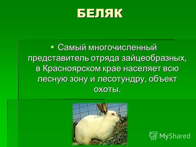 БЕЛЯК Самый многочисленный представитель отряда зайцеобразных, в Красноярском крае населяет всю лесную зону и лесотундру, объект охоты. Самый многочисленный представитель отряда зайцеобразных, в Красноярском крае населяет всю лесную зону и лесотундру
