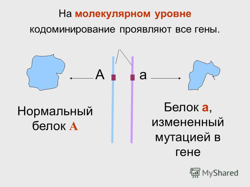 На молекулярном уровне кодоминирование проявляют все гены. Нормальный белок А Белок а, измененный мутацией в гене Аа