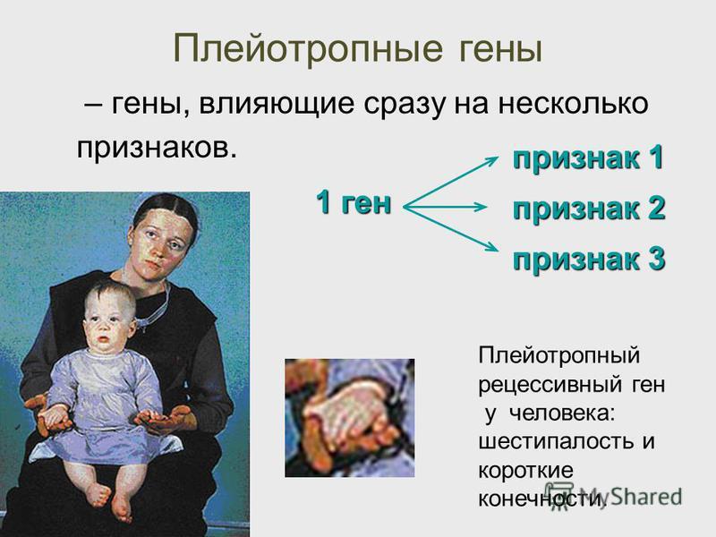 Плейотропные гены – гены, влияющие сразу на несколько признаков. 1 ген признак 1 признак 2 признак 3 Плейотропный рецессивныйй ген у человека: шестипалость и короткие конечности.