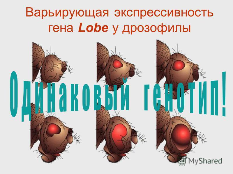 Варьирующая экспрессивность гена Lobe у дрозофилы