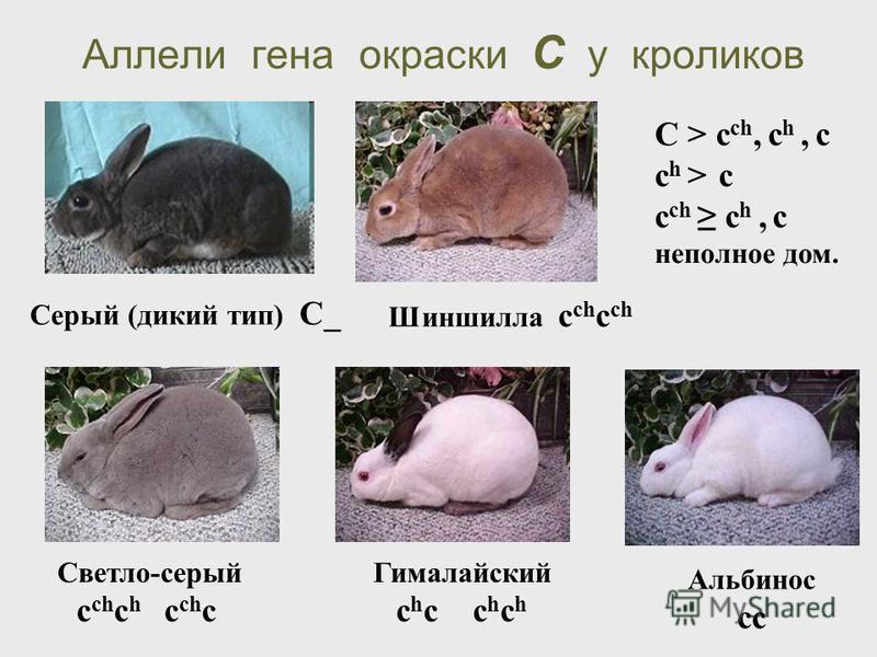Аллели гена окраски С у кроликов Альбинос cc Светло-серый c ch c h c ch c Гималайский c h c c h c h Шиншилла c ch c ch С > c ch, c h, c c h > c c ch c h, c неполное дом. Серый (дикий тип) C_