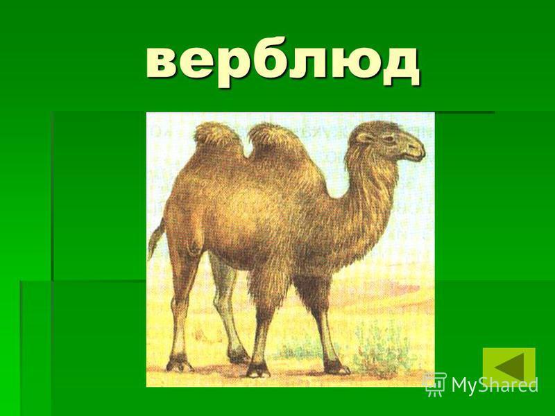верблюд