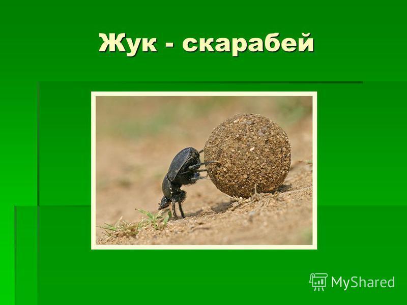 Жук - скарабей