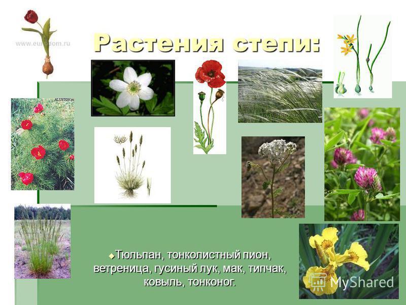 Растения степи: Тюльпан, тонколистный пион, ветреница, гусиный лук, мак, типчак, ковыль, тонконог. Тюльпан, тонколистный пион, ветреница, гусиный лук, мак, типчак, ковыль, тонконог.