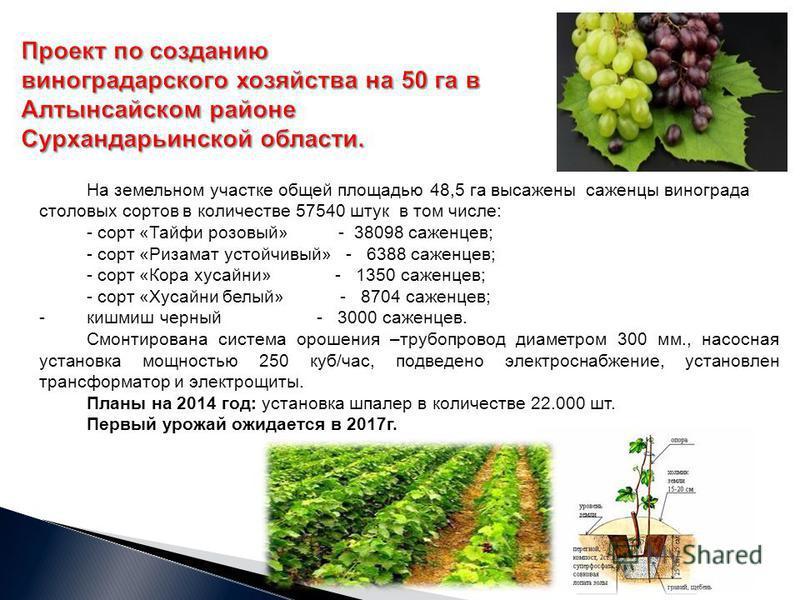 На земельном участке общей площадью 48,5 га высажены саженцы винограда столовых сортов в количестве 57540 штук в том числе: - сорт «Тайфи розовый» - 38098 саженцев; - сорт «Ризамат устойчивый» - 6388 саженцев; - сорт «Кора хусайни» - 1350 саженцев; -