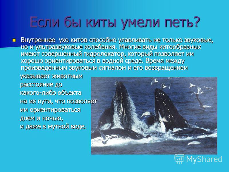 Если бы киты умели петь? Внутреннее ухо китов способно улавливать не только звуковые, но и ультразвуковые колебания. Многие виды китообразных имеют совершенный гидролокатор, который позволяет им хорошо ориентироваться в водной среде. Время между прои