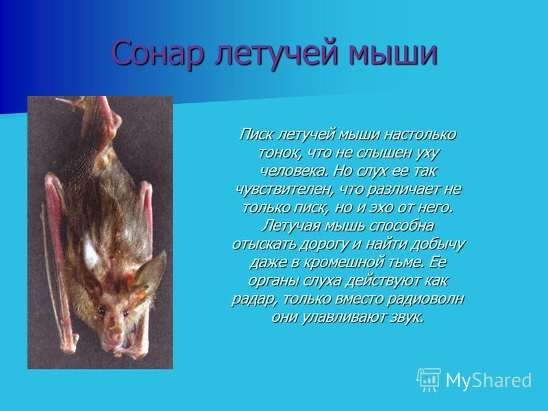 Сонар летучей мыши Писк летучей мыши настолько тонок, что не слышен уху человека. Но слух ее так чувствителен, что различает не только писк, но и эхо от него. Летучая мышь способна отыскать дорогу и найти добычу даже в кромешной тьме. Ее органы слуха