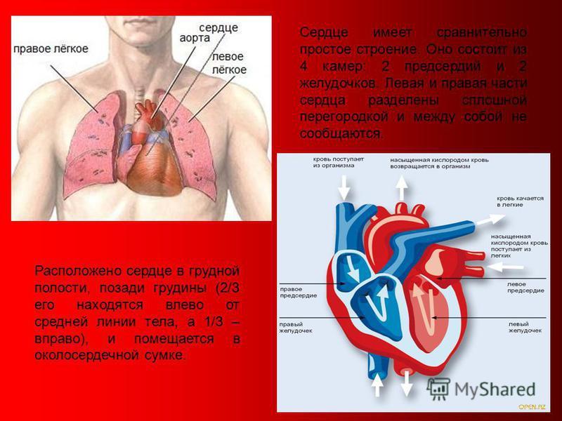 5 Расположено сердце в грудной полости, позади грудины (2/3 его находятся влево от средней линии тела, а 1/3 – вправо), и помещается в околосердечной сумке. Сердце имеет сравнительно простое строение. Оно состоит из 4 камер: 2 предсердий и 2 желудочк