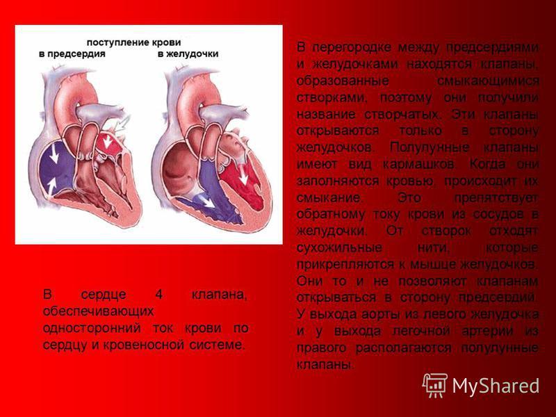7 В сердце 4 клапана, обеспечивающих односторонний ток крови по сердцу и кровеносной системе. В перегородке между предсердиями и желудочками находятся клапаны, образованные смыкающимися створками, поэтому они получили название створчатых. Эти клапаны