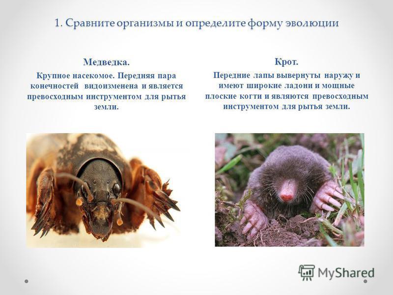 1. Сравните организмы и определите форму эволюции Медведка. Крупное насекомое. Передняя пара конечностей видоизменена и является превосходным инструментом для рытья земли. Крот. Передние лапы вывернуты наружу и имеют широкие ладони и мощные плоские к
