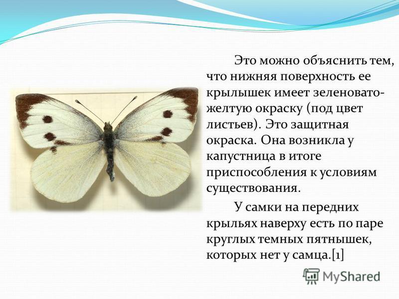 Это можно объяснить тем, что нижняя поверхность ее крылышек имеет зеленовато- желтую окраску (под цвет листьев). Это защитная окраска. Она возникла у капустница в итоге приспособления к условиям существования. У самки на передних крыльях наверху есть