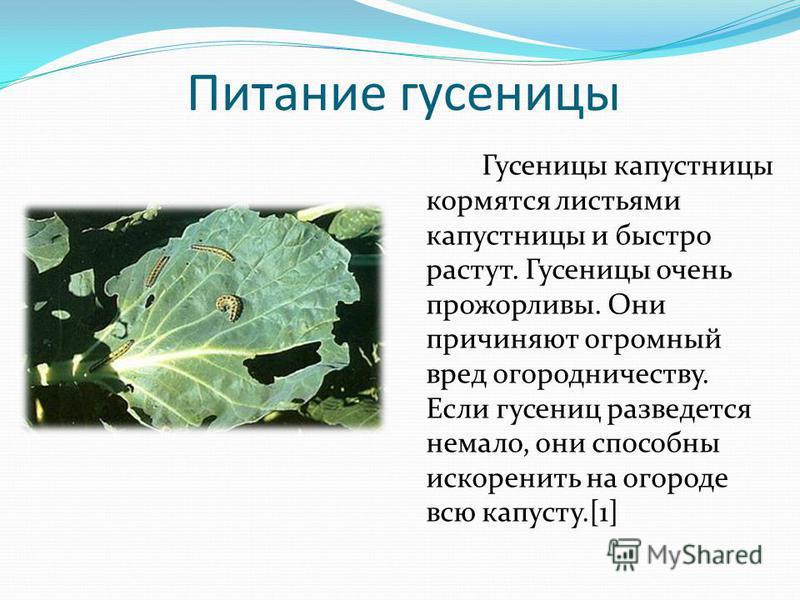 Питание гусеницы Гусеницы капустницы кормятся листьями капустницы и быстро растут. Гусеницы очень прожорливы. Они причиняют огромный вред огородничеству. Если гусениц разведется немало, они способны искоренить на огороде всю капусту.[1]