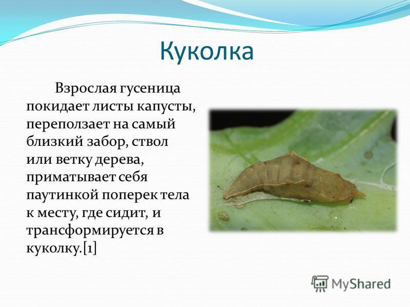 Куколка Взрослая гусеница покидает листы капусты, переползает на самый близкий забор, ствол или ветку дерева, приматывает себя паутинкой поперек тела к месту, где сидит, и трансформируется в куколку.[1]