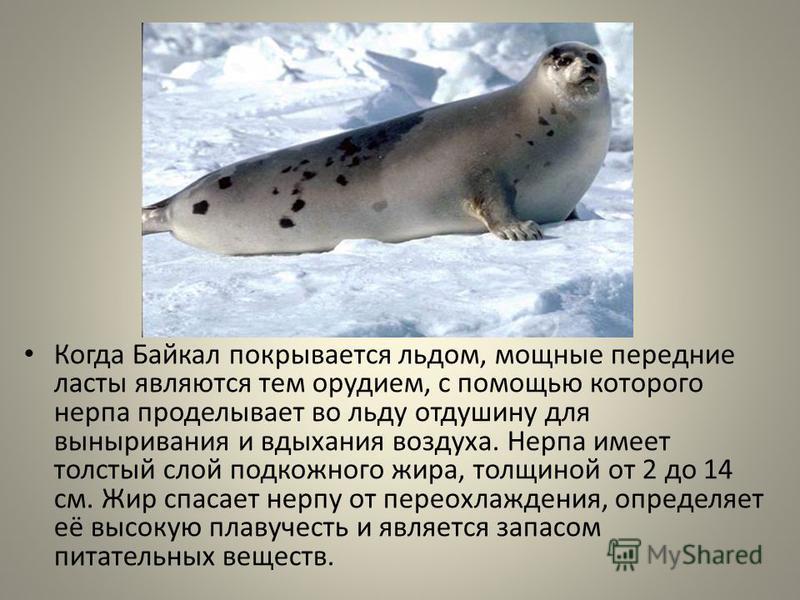 Когда Байкал покрывается льдом, мощные передние ласты являются тем орудием, с помощью которого нерпа проделывает во льду отдушину для выныривания и вдыхания воздуха. Нерпа имеет толстый слой подкожного жира, толщиной от 2 до 14 см. Жир спасает нерпу