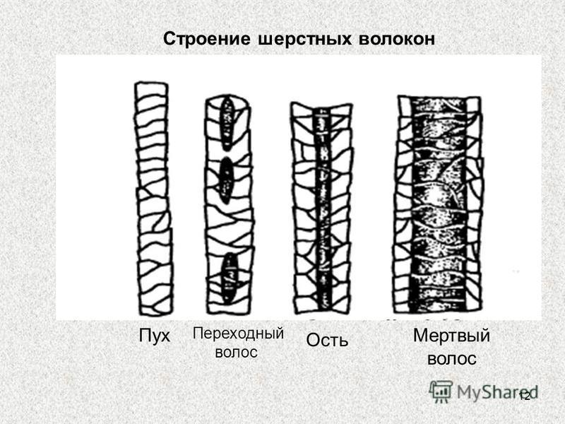 12 Строение шерстных волокон Пух Переходный волос Ость Мертвый волос