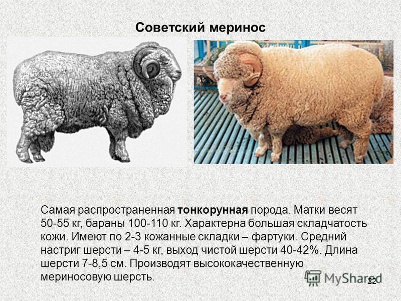 22 Советский меринос Самая распространенная тонкорунная порода. Матки весят 50-55 кг, бараны 100-110 кг. Характерна большая складчатость кожи. Имеют по 2-3 кожаные складки – фартуки. Средний настриг шерсти – 4-5 кг, выход чистой шерсти 40-42%. Длина