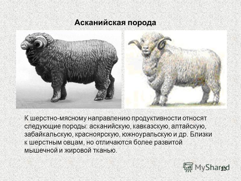 23 Асканийская порода К шерстно-мясному направлению продуктивности относят следующие породы: асканийскую, кавказскую, алтайскую, забайкальскую, красноярскую, южноуральскую и др. Близки к шерстным овцам, но отличаются более развитой мышечной и жировой