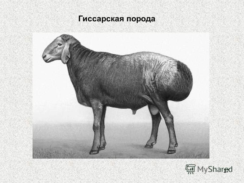 27 Гиссарская порода