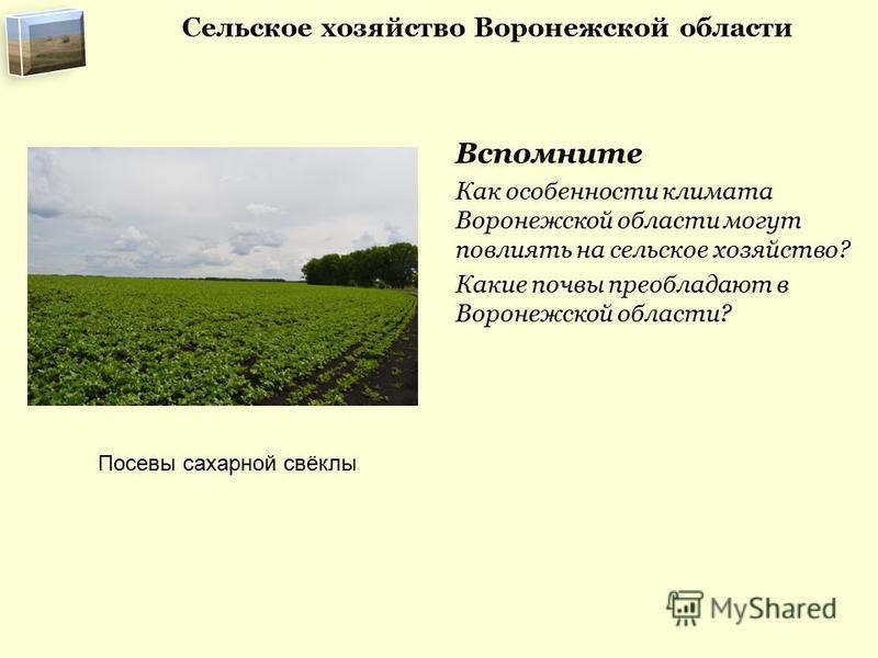Вспомните Как особенности климата Воронежской области могут повлиять на сельское хозяйство? Какие почвы преобладают в Воронежской области? Посевы сахарной свёклы