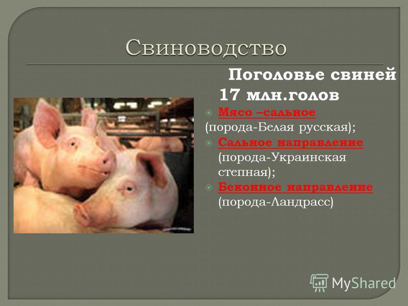 Поголовье свиней 17 млн.голов Мясо –сальное (порода-Белая русская); Сальное направление (порода-Украинская степная); Беконное направление (порода-Ландрасс)