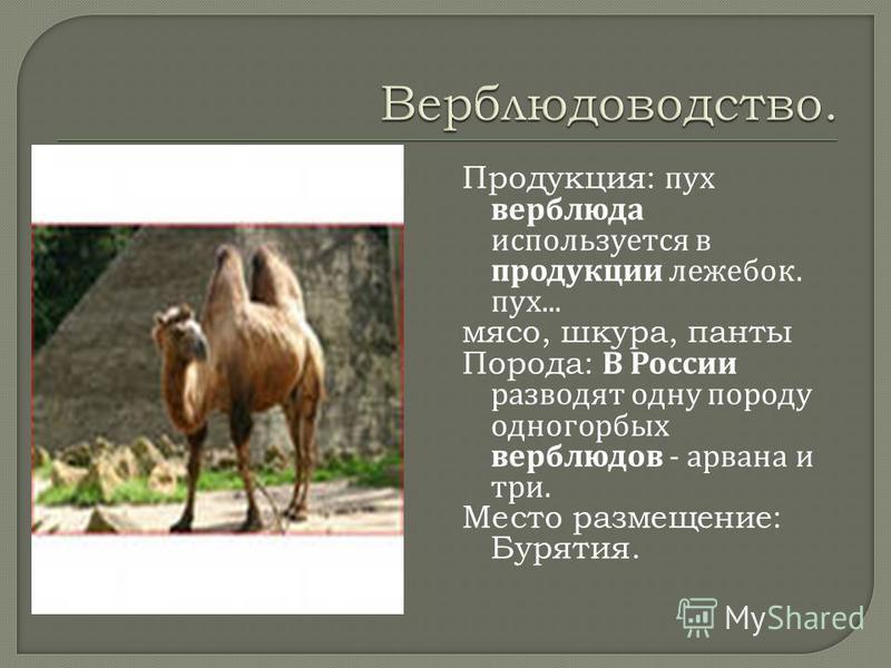 Продукция: пух верблюда используется в продукции лежебок. пух... мясо, шкура, панты Порода: В России разводят одну породу одногорбых верблюдов - арвана и три. Место размещение: Бурятия.