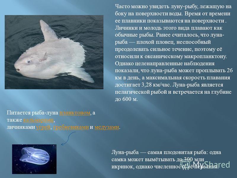 Часто можно увидеть луну - рыбу, лежащую на боку на поверхности воды. Время от времени ее плавники показываются на поверхности. Личинки и молодь этого вида плавают как обычные рыбы. Ранее считалось, что луна - рыба плохой пловец, неспособный преодоле