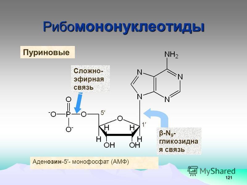 121 Рибо мононуклеотиды β-N 9 - глинкозидна я связь 1 5 Сложно- эфирная связь Аденозин-5- монофосфат (АМФ) Пуриновые