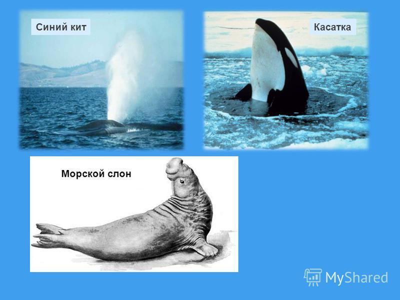 Синий кит Касатка Морской слон