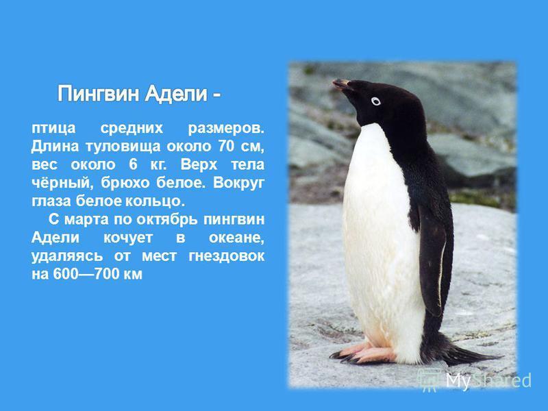 птица средних размеров. Длина туловища около 70 см, вес около 6 кг. Верх тела чёрный, брюхо белое. Вокруг глаза белое кольцо. С марта по октябрь пингвин Адели кочует в океане, удаляясь от мест гнездовок на 600700 км