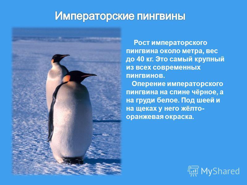 Рост императорского пингвина около метра, вес до 40 кг. Это самый крупный из всех современных пингвинов. Оперение императорского пингвина на спине чёрное, а на груди белое. Под шеей и на щеках у него жёлто - оранжевая окраска.