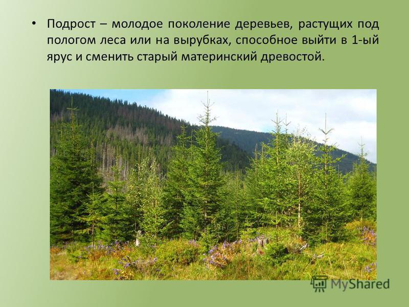 Подрост – молодое поколение деревьев, растущих под пологом леса или на вырубках, способное выйти в 1-ый ярус и сменить старый материнский древостой.
