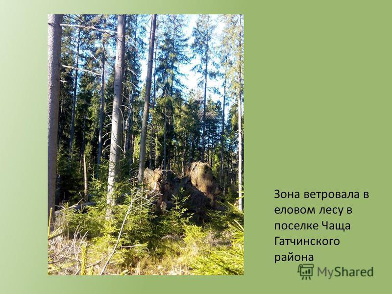 Зона ветровала в еловом лесу в поселке Чаща Гатчинского района