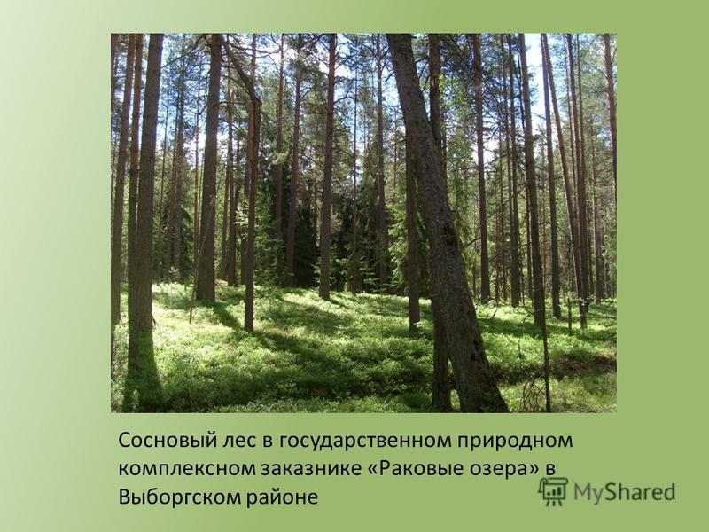 Сосновый лес в государственном природном комплексном заказнике «Раковые озера» в Выборгском районе