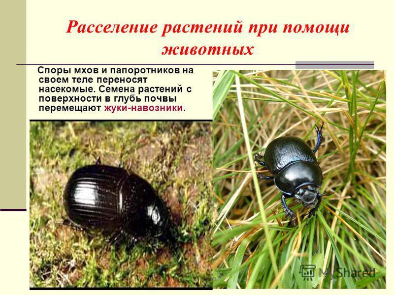 Расселение растений при помощи животных Споры мхов и папоротников на своем теле переносят насекомые. Семена растений с поверхности в глубь почвы перемещают жуки-навозники.