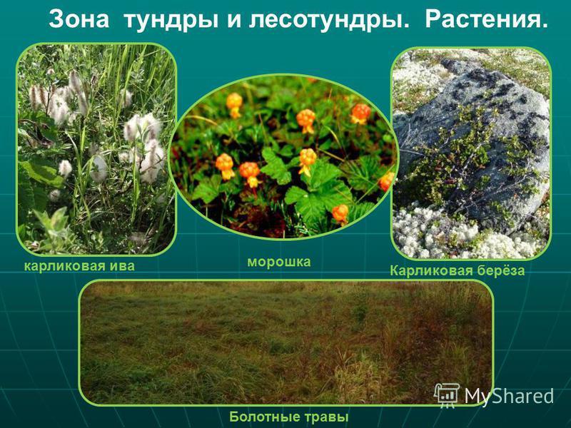 Зона тундры и лесотундры. Растения. карликовая ива морошка Карликовая берёза Болотные травы